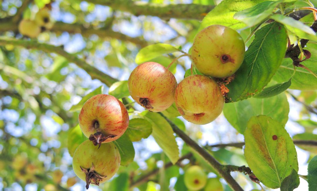 Apple tree for cider - Fermentis